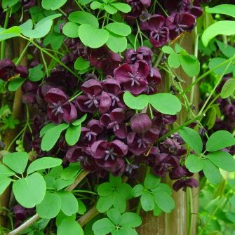 Benefits Of Akebia (Akebia Quinata) For Health