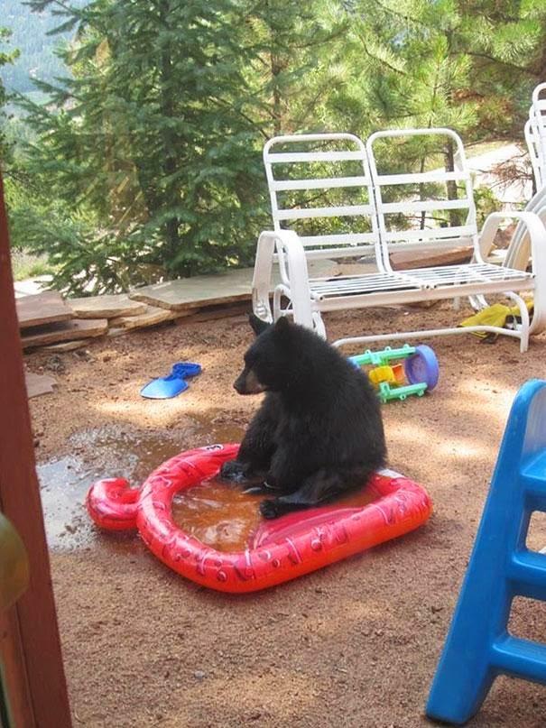 oso en la peor piscina del mundo