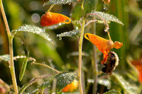 Dew on bumblebee and spotted jewelweed