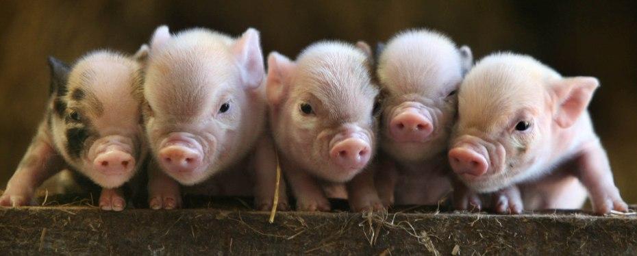 """Cerditos pennywell miniatura. A estos se les considera """"mascotas"""". A los demás, objetos de consumo."""