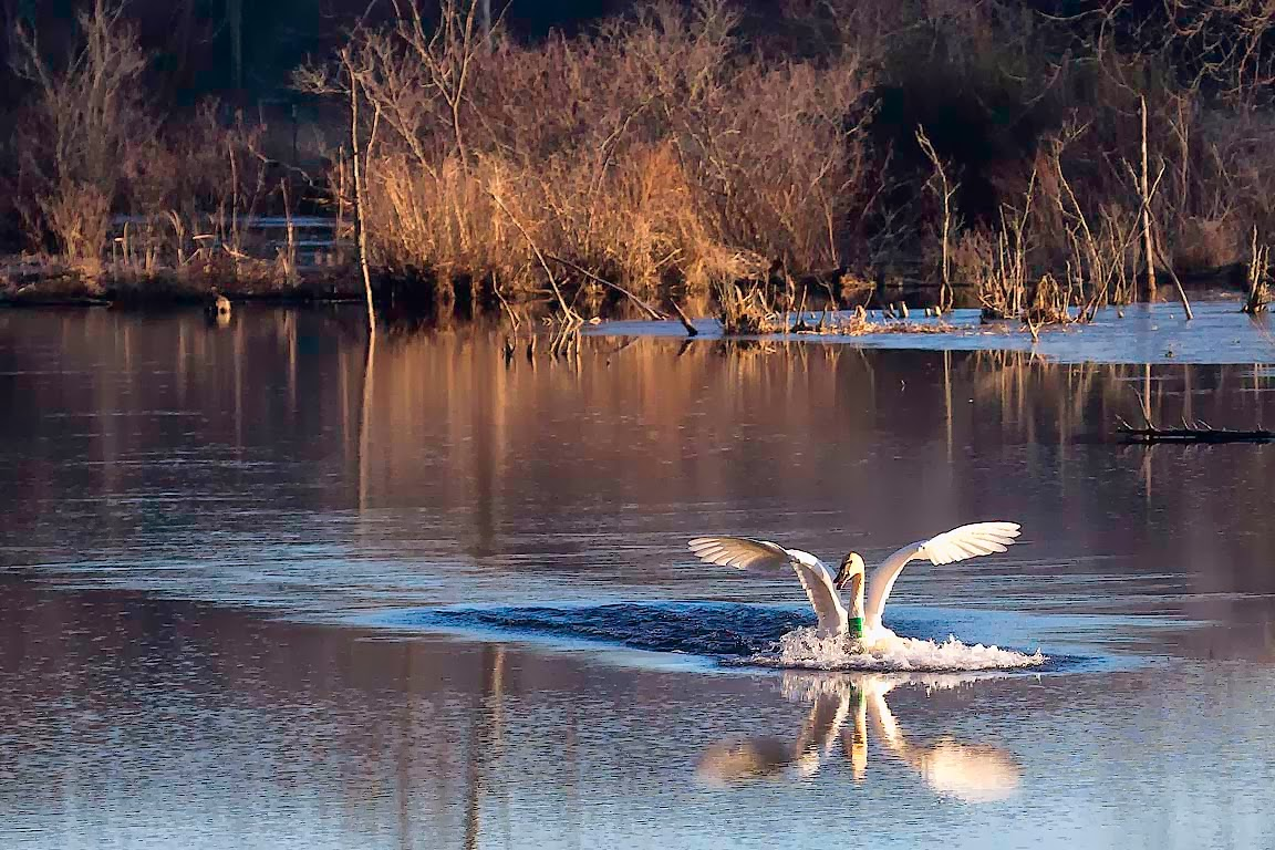 Trumpeter Swan Landing in Boxley Mill Pond