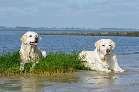 zwei Labradore am See