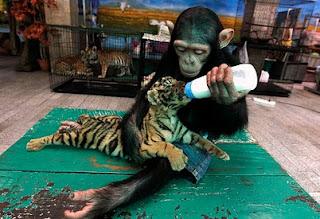 macan dan monyet