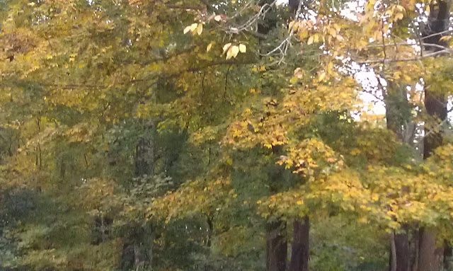 Fall yellow trees