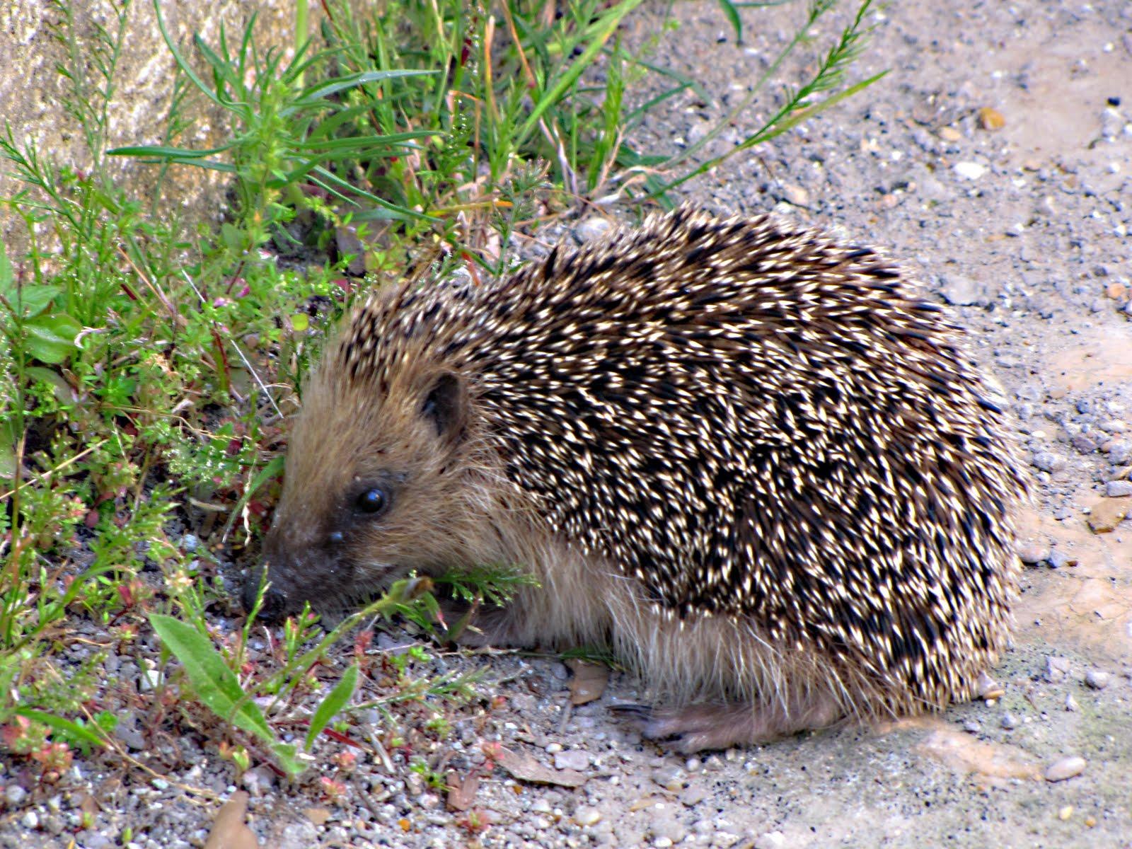 Medbunker le scomode verit l 39 importanza del riccio - Riccio in giardino ...