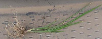 rice root