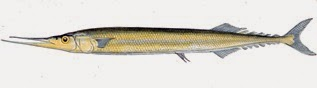 Atlantic Saury