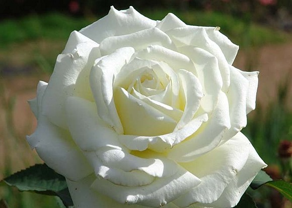 Memoire rose сорт розы фото