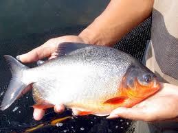 Benih Ikan BAwal Murah