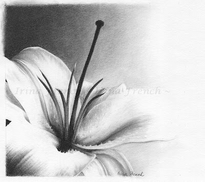 graphite drawing of a lily flower