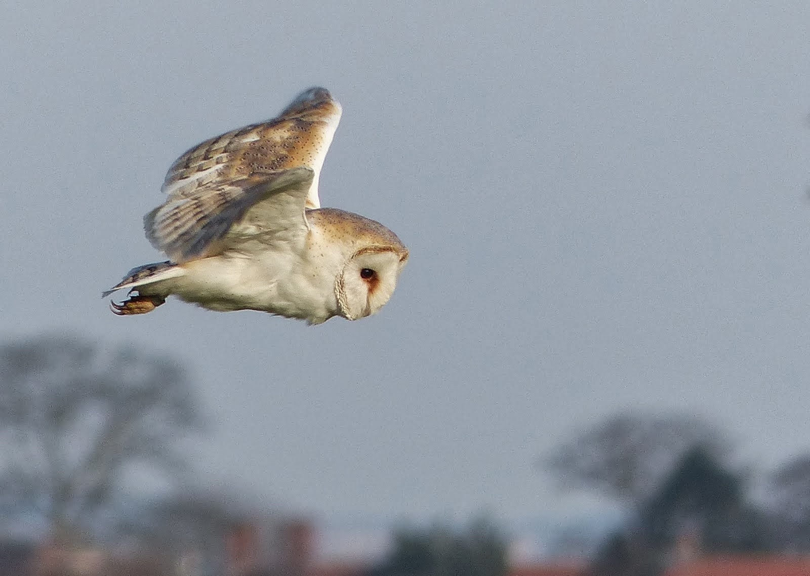 Barn Owl on my local patch