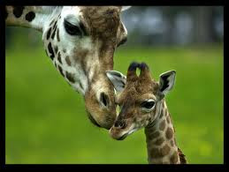 The mother Giraffe makes her child Suffer Story