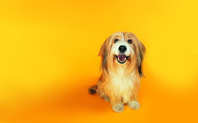 smiling, dog wallpaper, orange wallpapers