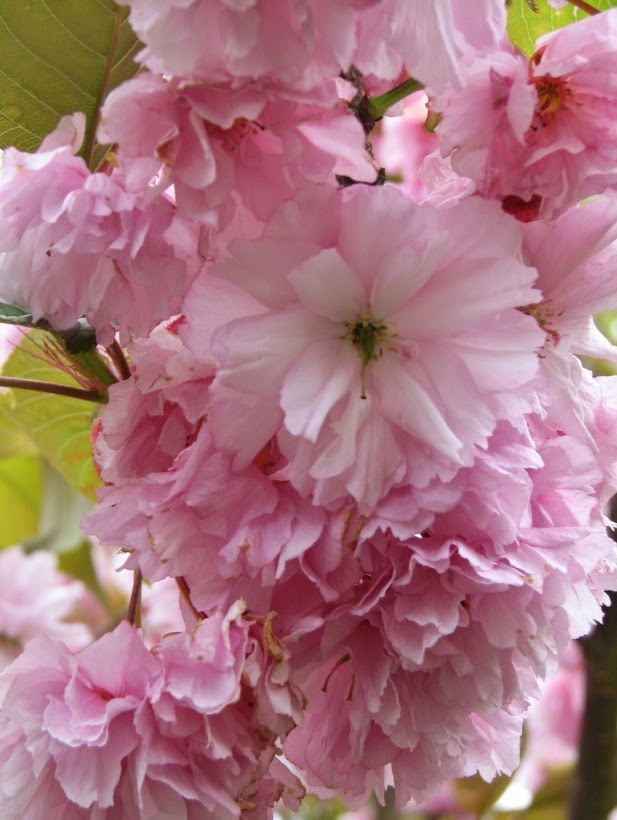 Air Nice-to-Livelands: Cherry blossom on the tree