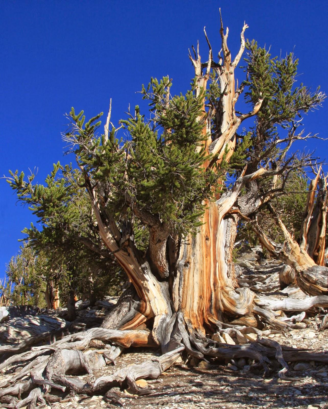 Descubre TU MUNDO: Curiosidades: Pinus Longaeva -el árbol más ...