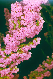 A pink heather of the genus Erica