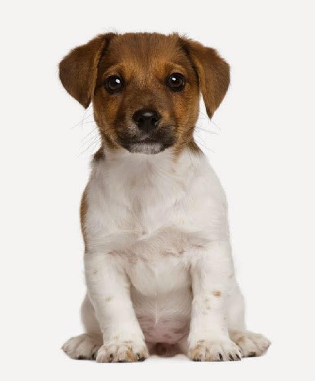 Reakcje poszczepienne u psa