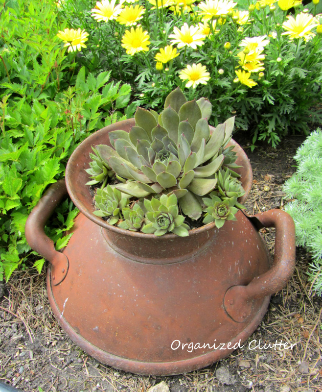 Hen & Chicks in a Milk Can Top Planter www.organizedclutterqueen.blogspot.com
