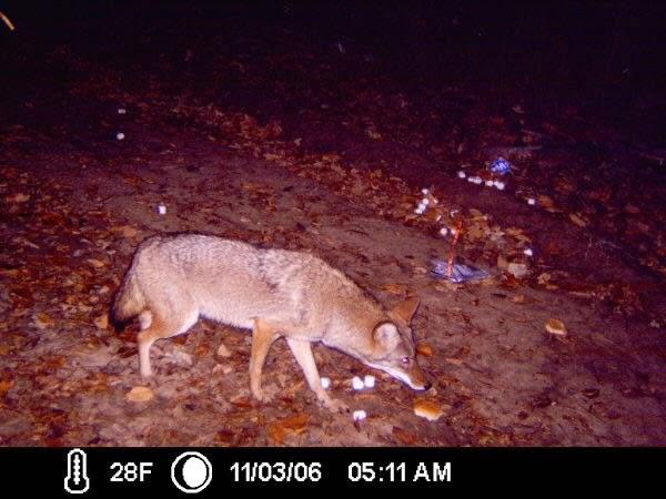 Coyote Canis Fourche Bottoms Little Rock Arkansas Wildlife