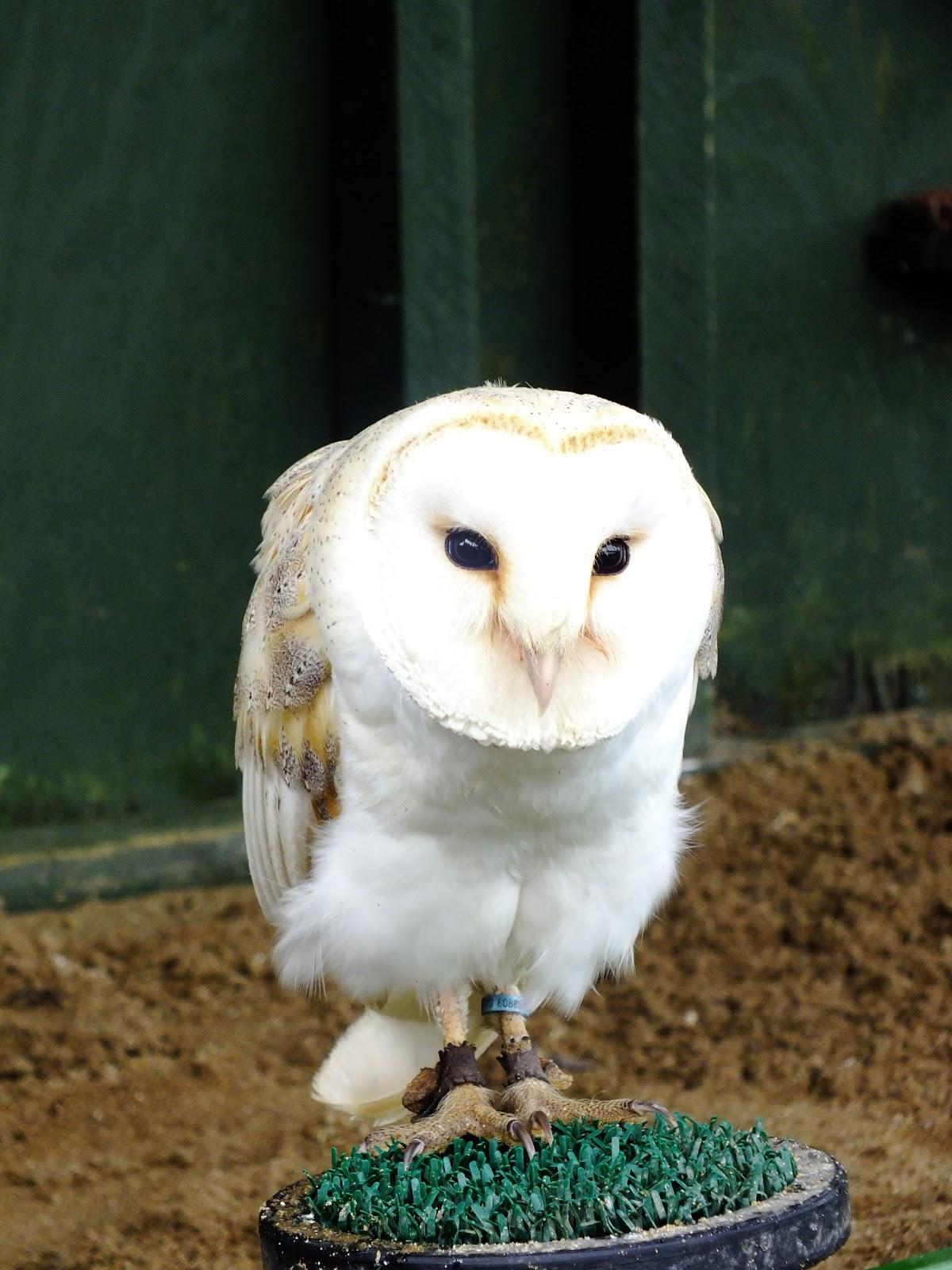 sowa biała, ptak drapieżny