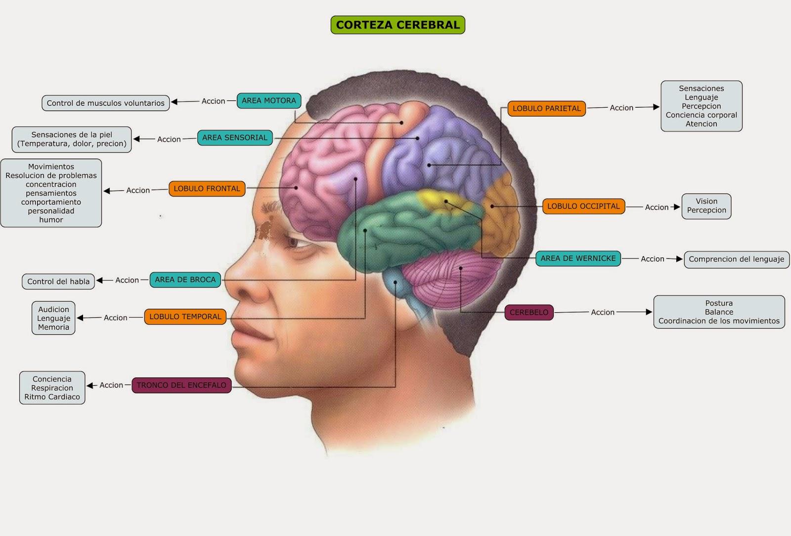 Blog de Fisiologia Medica de Miguel Angel Rivera Arce: Esquema de ...