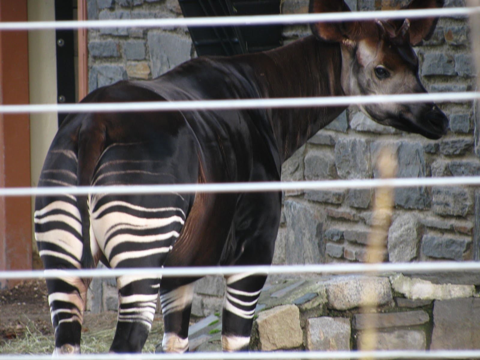 the similarities between an okapi and a giraffe The okapi is also known as the forest giraffe or zebra  morphological similarities shared between the giraffe and the okapi include a similar gait.