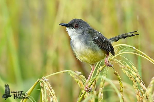 Foto Burung Ciblek Sawah Terbaik