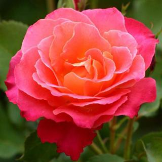 Rosa jaspeada - Solo Nuevas