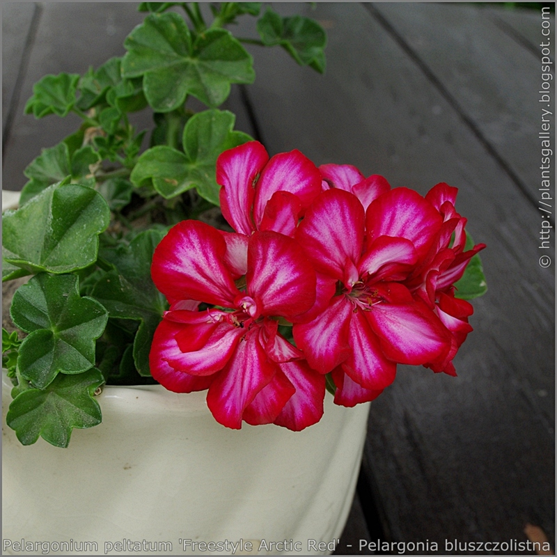 Pelargonium peltatum 'Freestyle Arctic Red' - Pelargonia bluszczolistna  'Freestyle Arctic Red'