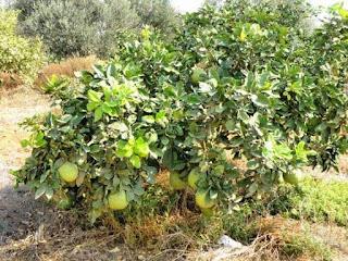 pohon-jeruk-bali.jpg