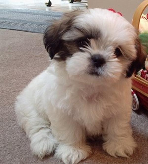 Dog Cute Dog: Looking Into A Shih Tzu Hair Cut