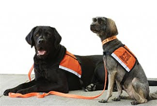 Dogs For The Deaf hearing dogs Devo and Ty Bo wear their orange ID Cape dog vests while working