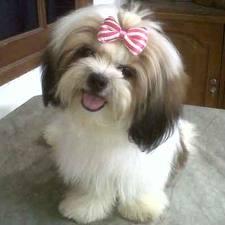 adalah sejenis anjing kecil dalam kategori anjing mainan nama anjing