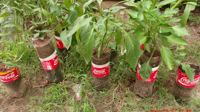 Garrafas de Coca-Cola viram vasos para mudas