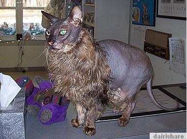 2013 07 22 214012 Kucing Paling Hodoh Dan Menakutkan
