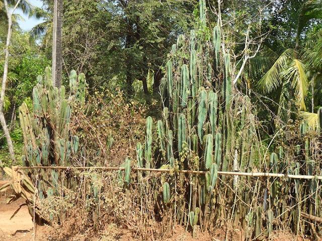 Ограда из кактусов