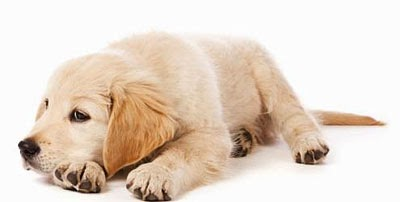 cão com gastrite