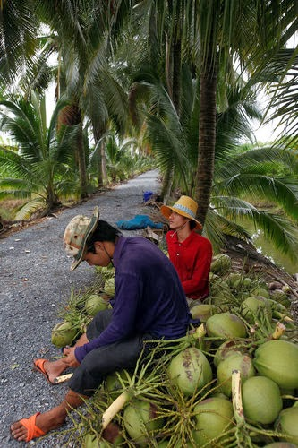 Coconut Crisis Looms as Postwar Palm Trees Age: Southeast Asia