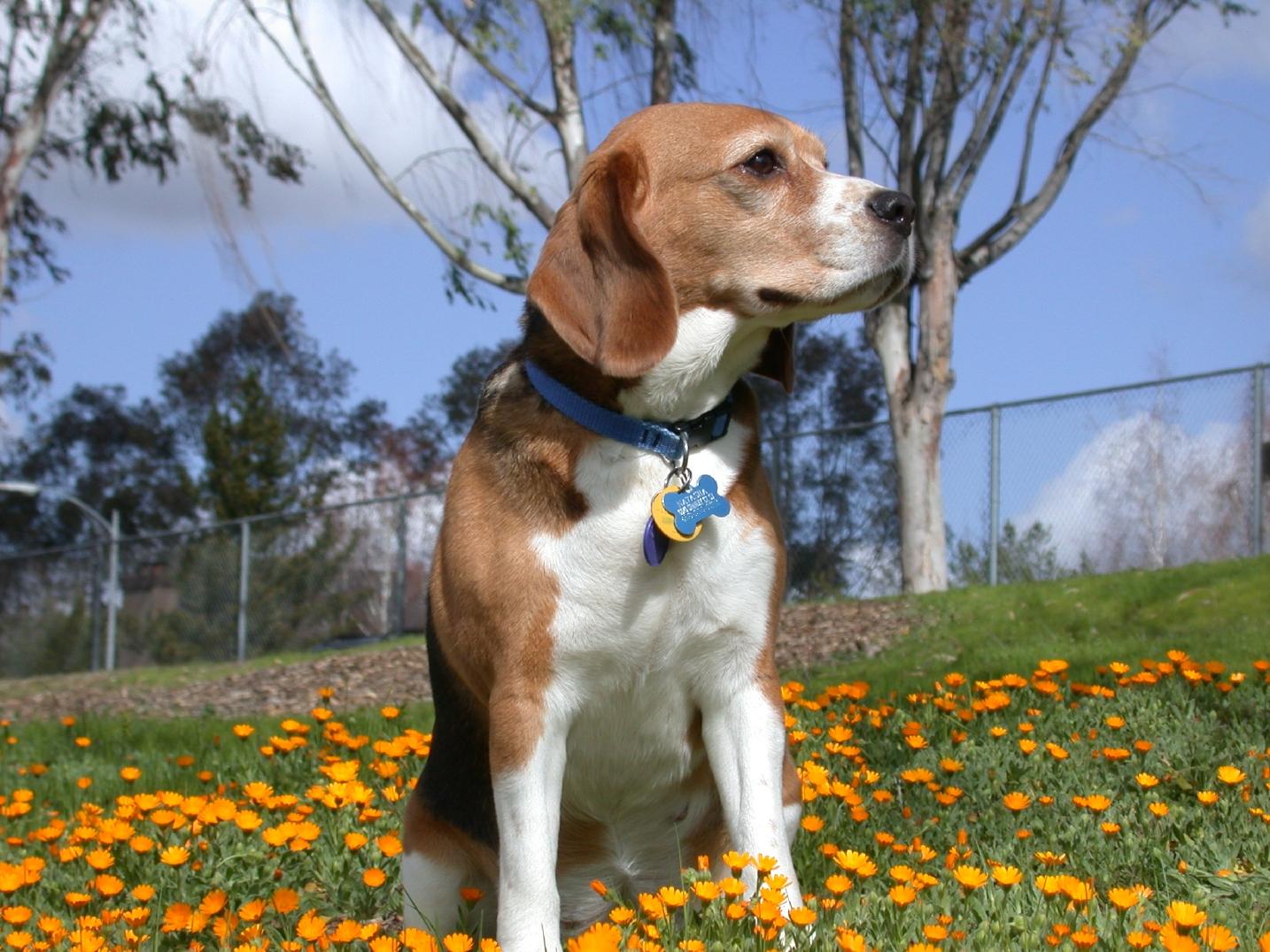 http://4.bp.blogspot.com/-t00TuTIm-OQ/TxQsrbpVOGI/AAAAAAAAAa0/_ynCWxVstqA/s1600/beagle+in+--flowers.jpg