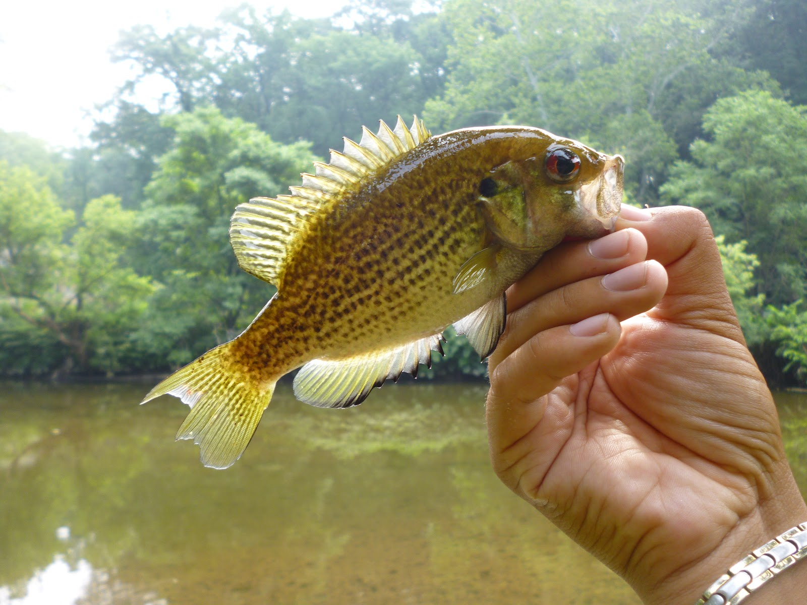 Baby rock bass images galleries with for Baby bass fish