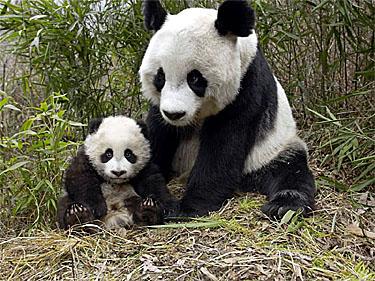 Amazing Giant Panda: Endangered Species, Giant Pandas Facts ...