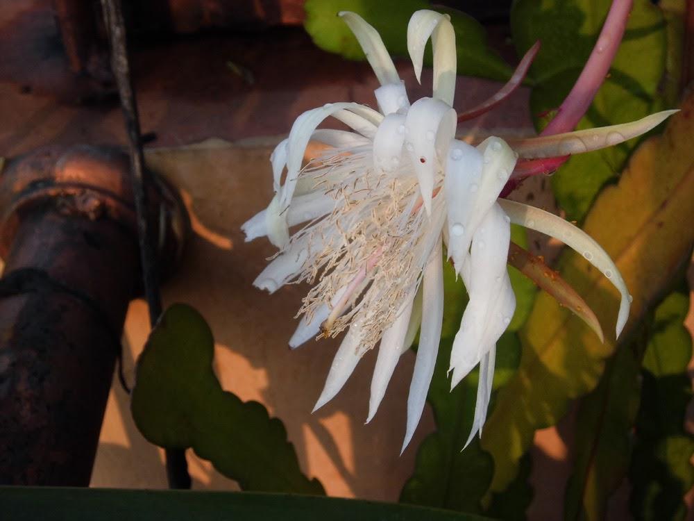 Pengobatan Sukar Buang Air Besar Dengan Tanaman Bunga Wijayakusuma
