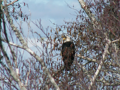 Bald Eagle in tree Columbia River photo by Jennifer Kistler