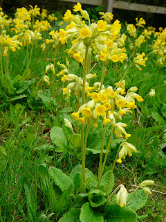 Cowslip, National Wildflower Centre