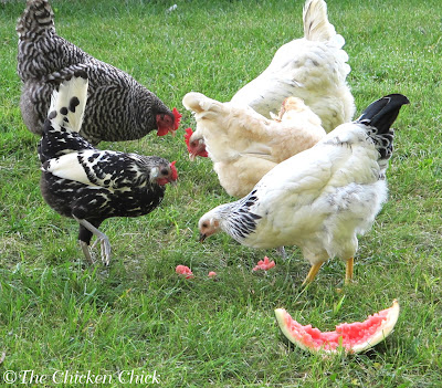 When giving chickens sweet treats, especially when trying to help them beat the summer heat, don't leave sticky, sweet remnants behind that will attract flies. Clean up the rinds & compost them.