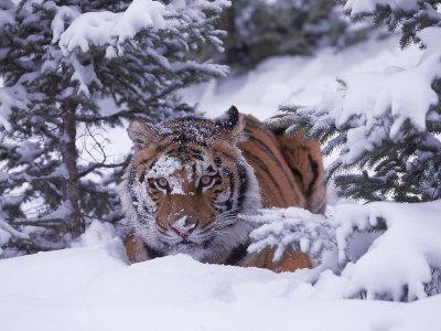 Tiger Amur / Siberian (Panthera tigris altaica)