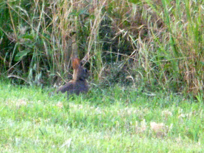 Close-up of the rabbit huddled down in the grass; he's got big black eyes and the sun is lighting up his ears