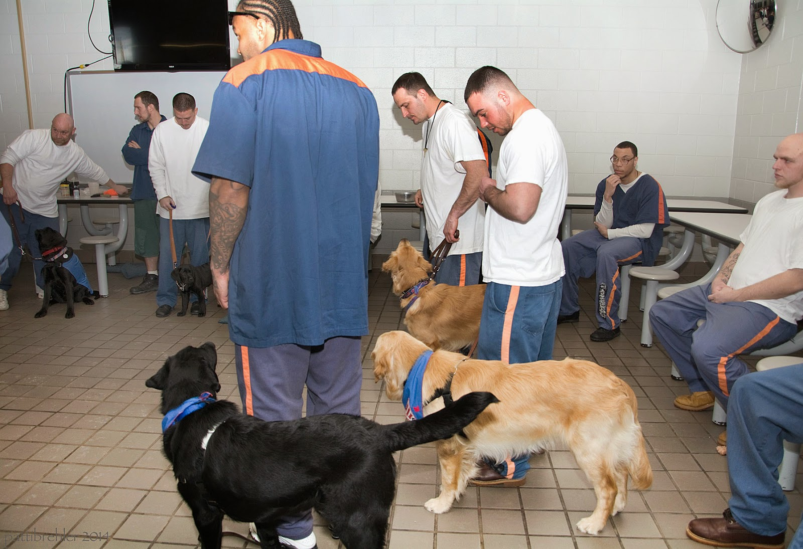 Now the three dogs are standing next to their handlers. The black lab is looking up his handler, as is the furthers golden. the middle golden is just looking ahead. In this shot you can see three men in the background on the left with smaller black labs, one is sitting and the other is down. There are two men sitting on the right side. A large black TV screen is hanging on the far wall in the background.