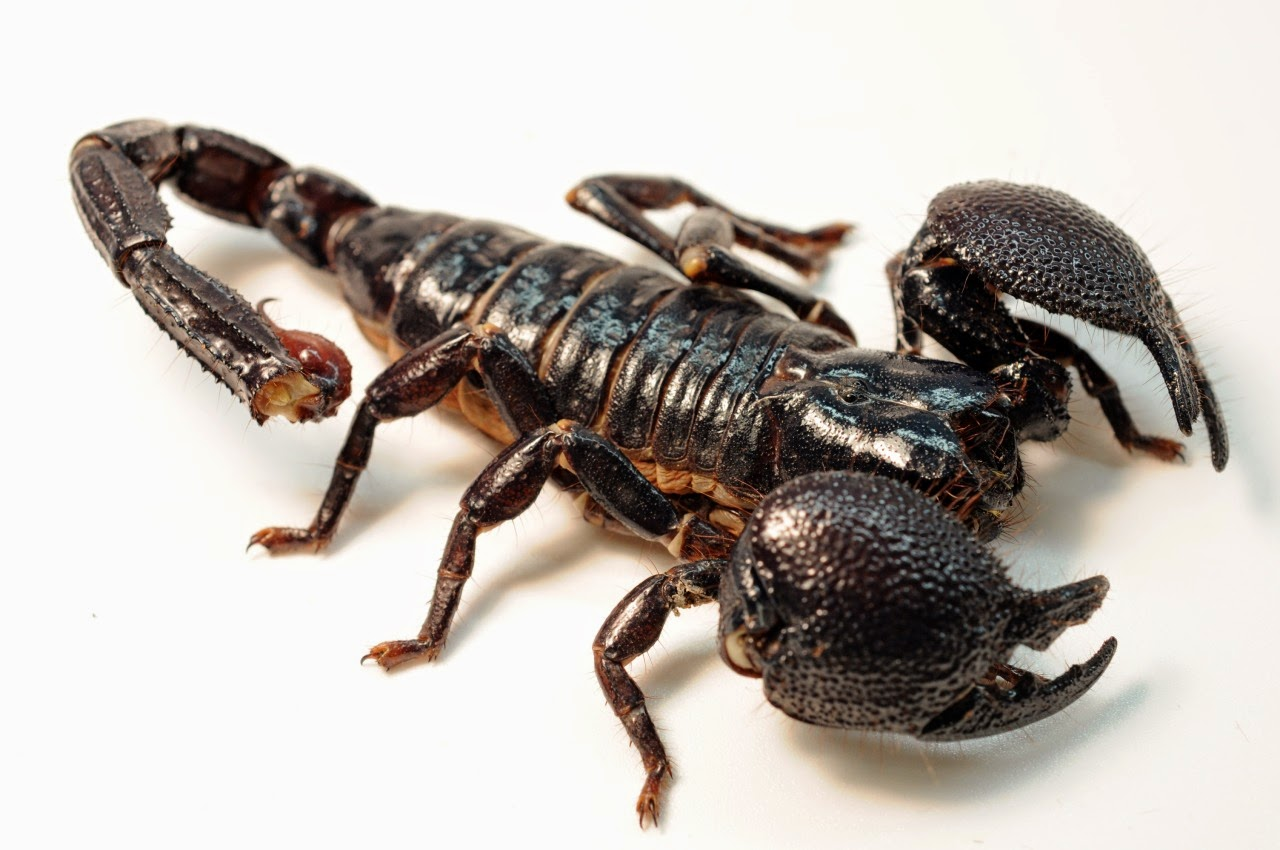 http://zoozon.blogspot.com/2015/03/scorpions-animal-pictures-2.html