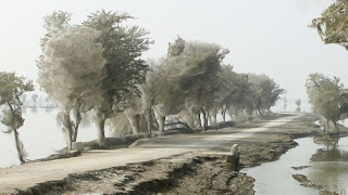 Spider Invasion in Pakistan Seen On www.coolpicturegallery.us